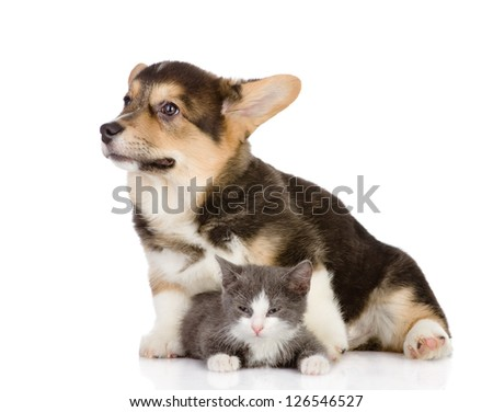 Pembroke Welsh Corgi puppy and kitten. isolated on white background