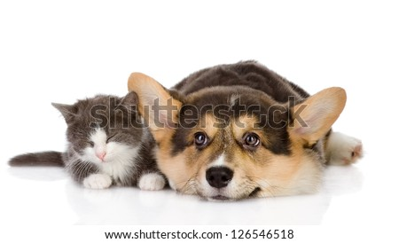 Pembroke Welsh Corgi puppy and kitten together. isolated on white background - stock photo