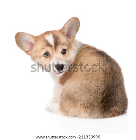 Pembroke Welsh Corgi puppy back view. isolated on white background