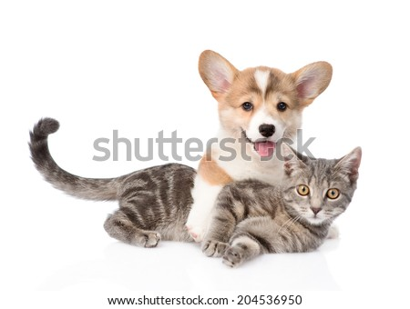 Pembroke Welsh Corgi puppy hugging cat. isolated on white background - stock photo