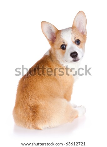 Pembroke Welsh Corgi puppy isolated on a white background