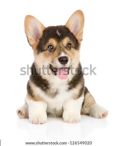 Pembroke Welsh Corgi puppy. isolated on white background - stock photo