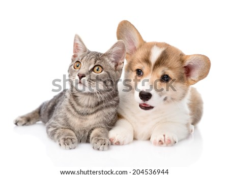 Pembroke Welsh Corgi puppy lying with cat together and looking away. isolated on white background - stock photo