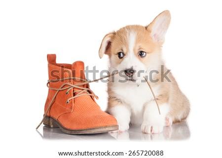 Pembroke welsh corgi puppy playing with a shoe - stock photo