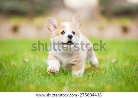 Pembroke welsh corgi puppy running - stock photo