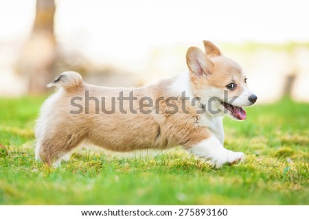 Pembroke welsh corgi puppy running stock photo royalty free pembroke welsh corgi puppy running altavistaventures Image collections
