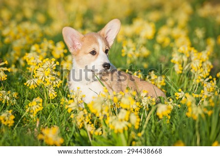 Pembroke welsh corgi puppy sitting on the field with flowers