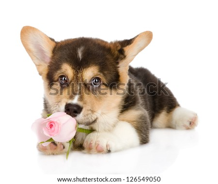 Pembroke Welsh Corgi puppy with a rose. looking at camera. isolated on white background