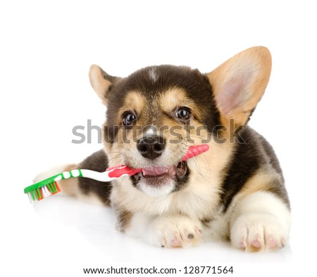 Pembroke Welsh Corgi puppy with a toothbrush. isolated on white background - stock photo