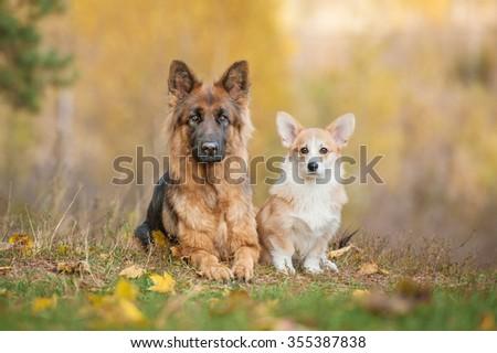 Pembroke welsh corgi puppy with german shepherd dog in autumn - stock photo