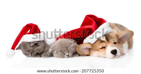 Pembroke Welsh Corgi puppy with red santa hat and two kittens sleeping together. isolated on white background