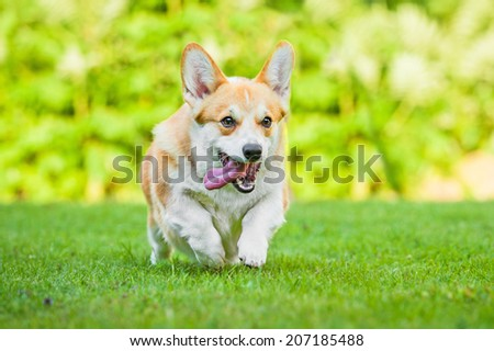 Pembroke welsh corgi running outdoors