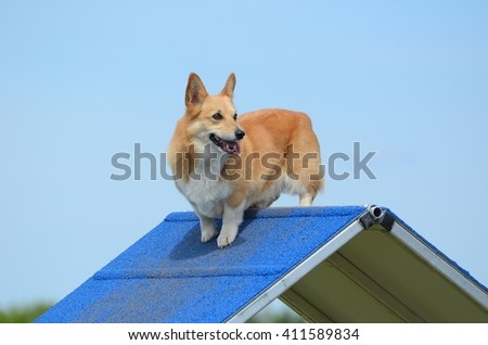 Pembroke Welsh Corgi Standing on an A-Frame at a Dog Agility Trial