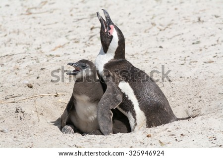 Penguin and chicken, hungry. Seen during safari tour at South Africa, Africa. - stock photo