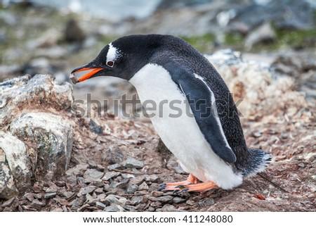 Penguin building its nest placing rocks with it beak - stock photo
