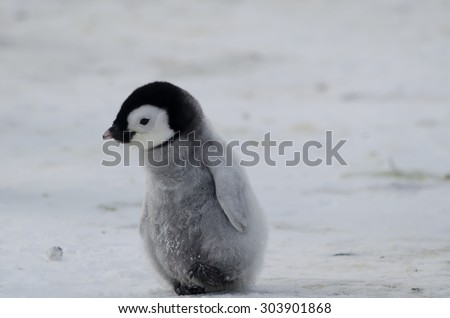 penguin chick off for a walk - stock photo