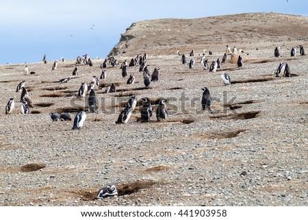 Penguin colony on Isla Magdalena island in Magellan Strait, Chile - stock photo
