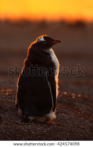 Penguin evenig scene in the orange sunset. Beautiful gentoo penguin with sun light. Penguin with evening light. Open penguin bill. Young with adult. Penguins in the nature. Antarctica - stock photo