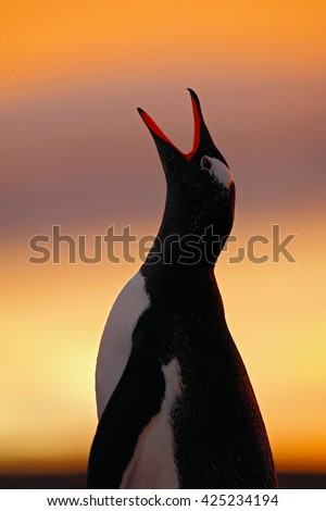 Penguin evening scene in orange sunset. Beautiful gentoo penguin with sun light. Penguin with evening light. Open penguin bill. Young with adult. Penguins in nature. Antarctica. Bird with open bill. - stock photo