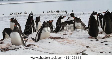 Penguin family - stock photo