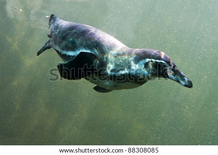Penguin that dives under water with reflections