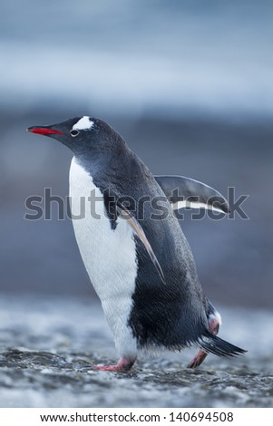 Penguin walking in snow - stock photo