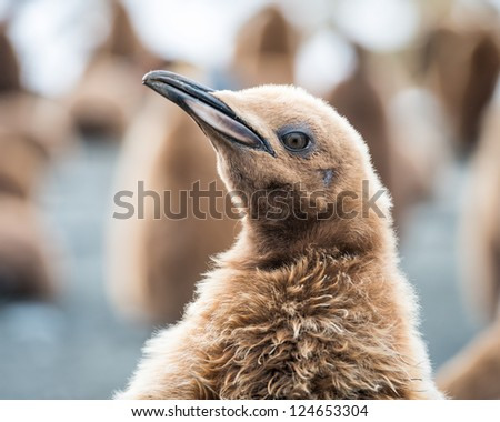 Penguin with brown feathers, South Geaorgia, South Atlantic Ocean - stock photo
