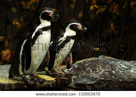 penguins - stock photo