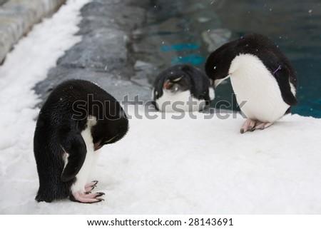 penguins - stock photo