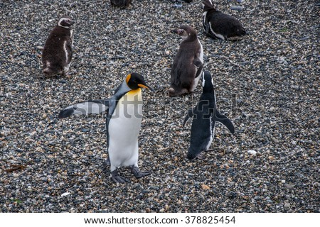 Penguins dancing on Isla Martillo, Beagle channel, Ushuaia. - stock photo