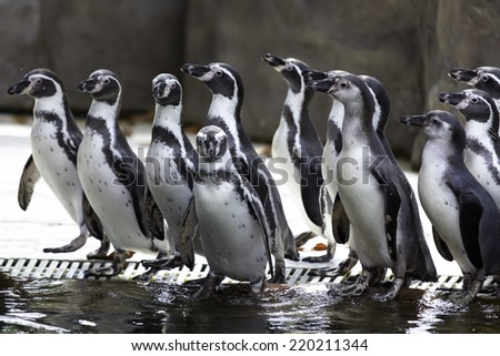 Penguins looking for food - stock photo