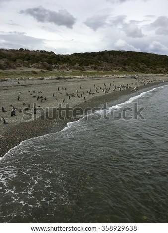 Penguins near Ushuaia, Argentina - stock photo