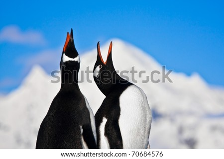 Penguins singing on a rock in Antarctica. Mountains in the background