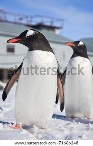 penguins standing on the hills covered with snow in Antarctica - stock photo