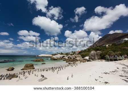 Penguins walk on the beach. Boulders Beach, Cape Town, South Africa - stock photo