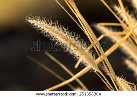 Pennisetum flowers in warm sunlight - stock photo