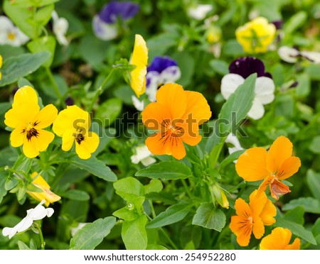 pensies flowers as the floral background, viola tricolor pansy - stock photo
