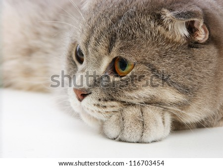 pensive British kitten on white background - stock photo