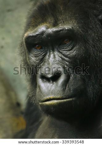 Pensive sad gorilla - stock photo