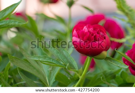 peonies are outrageously beautiful in bloom, with lush foliage all summer long. These perennials may ... If the soil is heavy or very sandy, enrich it with compost. - stock photo
