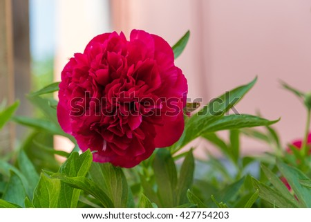 peonies are outrageously beautiful in bloom, with lush foliage all summer long. These perennials may ... If the soil is heavy or very sandy, enrich it with compost.
