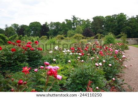 Peonies garden on summer day - stock photo