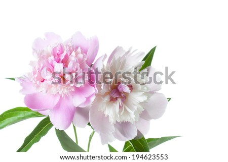 peonies, white and pink  flowers on white background, beautiful closeup image of peony designed for greeting cards, wallpaper, interior design, stylish background