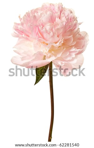 Peony Blossom isolated on a white background