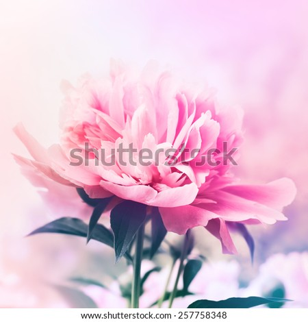 Peony floral background - stock photo