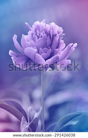 Peony floral background made with color filters - stock photo