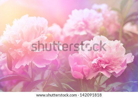 Peony flower background - stock photo