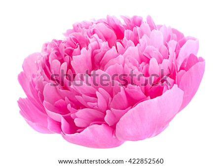 Peony flower blossom head isolated on white