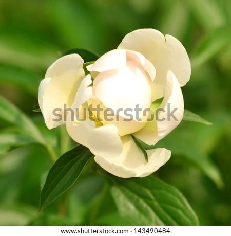 peony flower bud - stock photo
