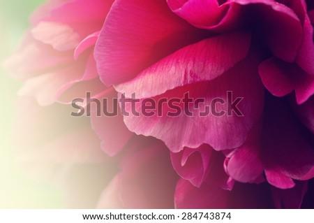 Peony flower in sunlight. - stock photo
